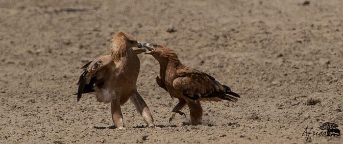 Eagles-beak-fight