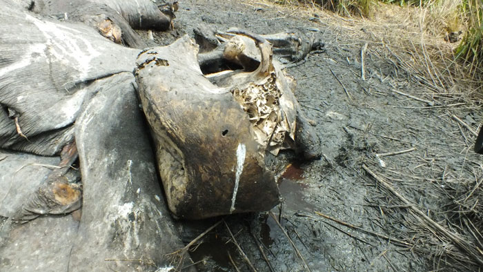 Elephant skull indicating bullet hole from the air and ivory removed by chainsaw © African Parks