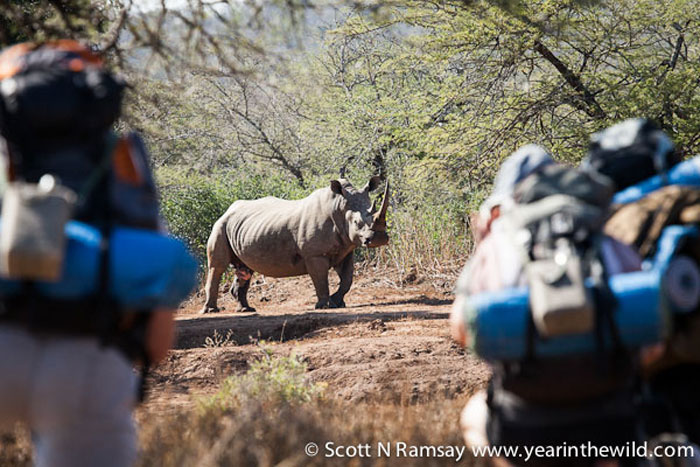Nothing can prepare you for this experience...face to face with an adult white rhino bull