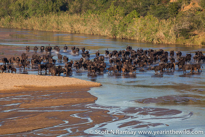 The herd of buffalo that came to drink from the White Imfolozi River, just in front of one of our campsites.