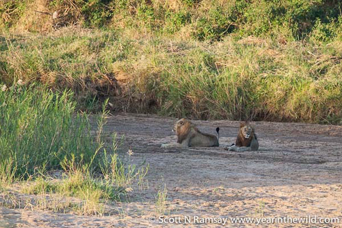 And nearby, two large male lions, thinking about their dinner...