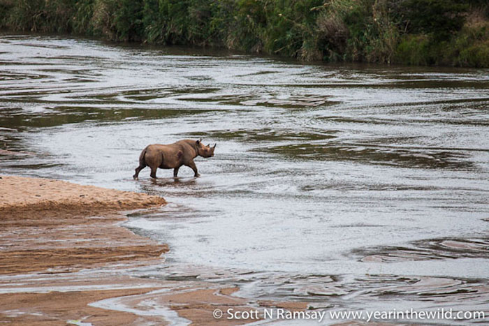Wow! A black rhino - much rarer than a white rhino - crossing the river in front of us. A fantastic sighting, considering that black rhinos are mostly nocturnal, and only emerge from thick bush after dark.