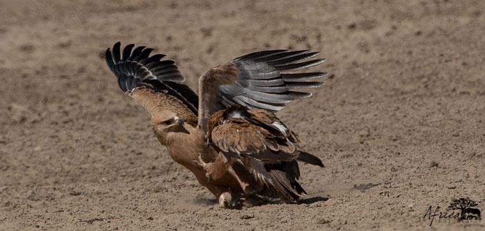 Tawny-Eagle-Fight