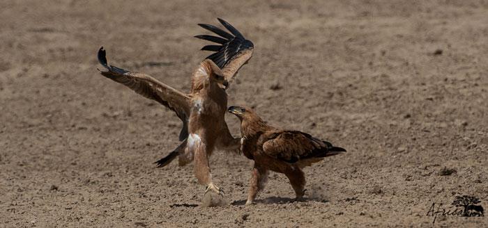 Tawny-Eagle-battle-kalahari