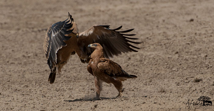Eagle Interactions Africa Geographic