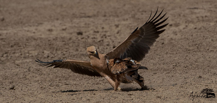 Tawny-Eagles-onground
