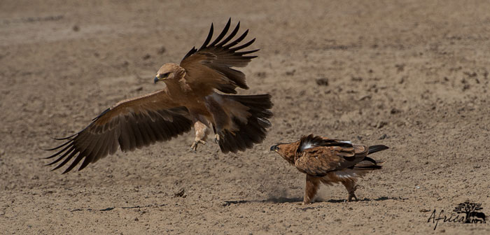 Two-Tawny-Eagles