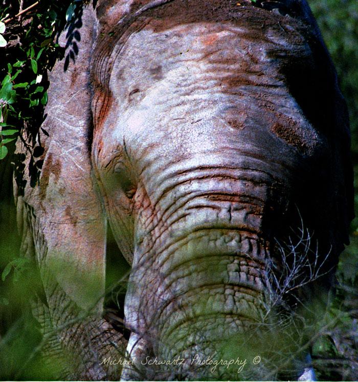 Welgevonden-elephant