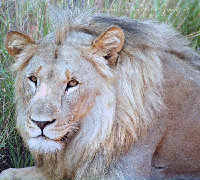 Welgevonden-male-lion-south-Africa