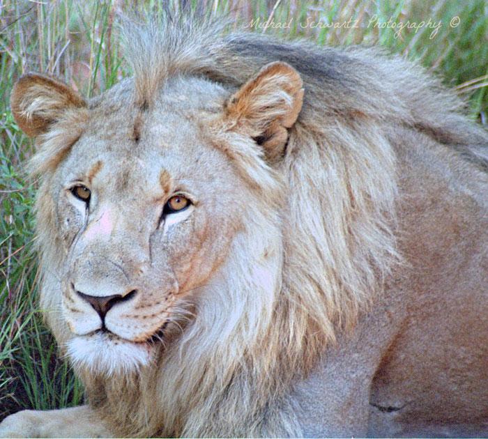 Welgevonden-male-lion-south-Africa
