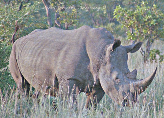 Welgevonden-rhino