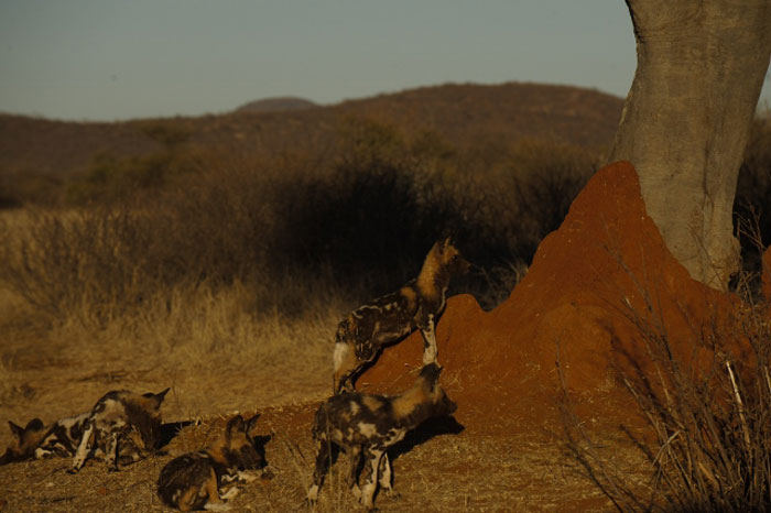 Wild_Dog-anthill-madikwe