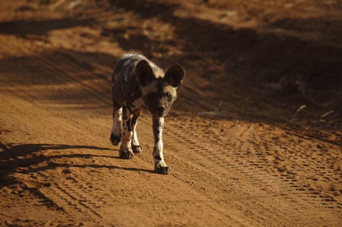 Wild_Dog_Jacis-Camp_Madikwe
