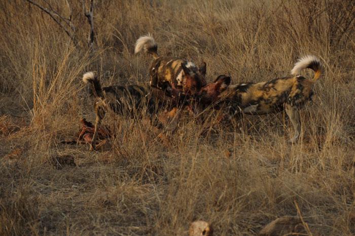 Wild_Dog_kill_Madikwe-Game-Reserve