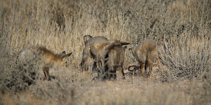 bat-eared-fox-family