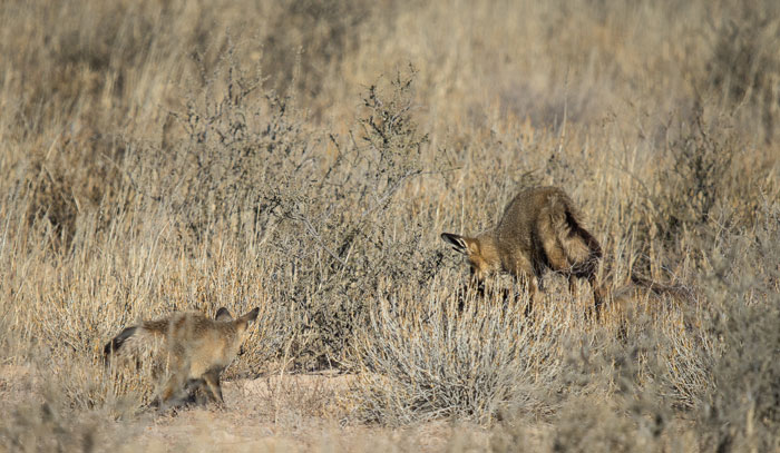 bat-eared-fox-jump