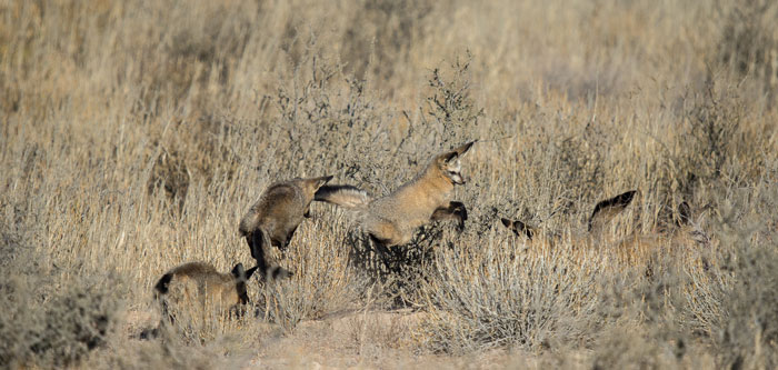 bat-eared-foxes-jumping