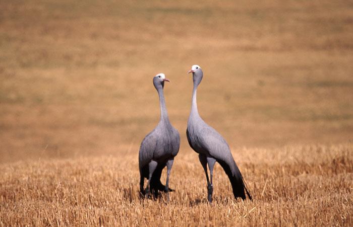 blue-cranes-on-wheatfield
