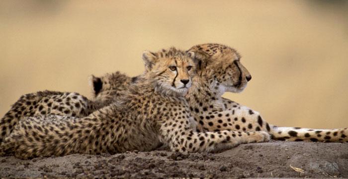 elefant-tour-cheetah7
