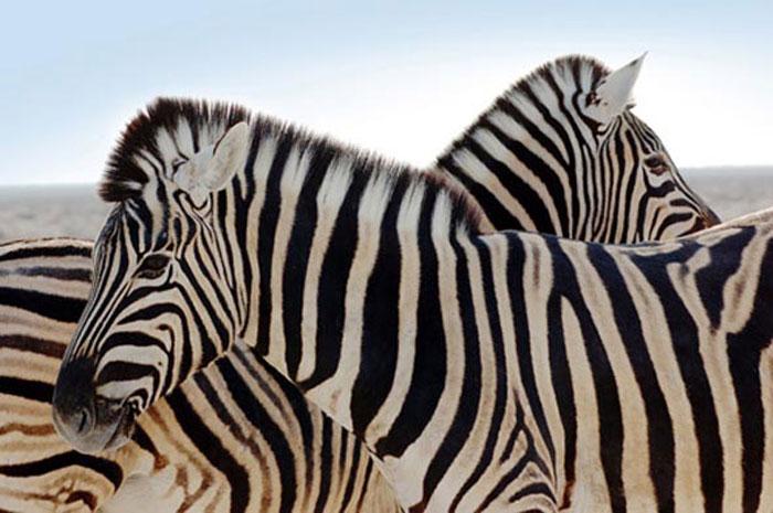 elefant-tours-zebra
