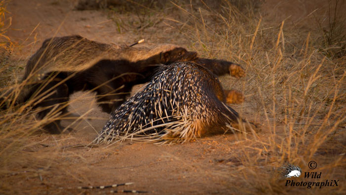 Did This Honey Badger Kill This Porcupine Africa Geographic