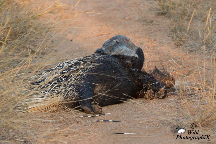 honey-badger-eating-porcupine
