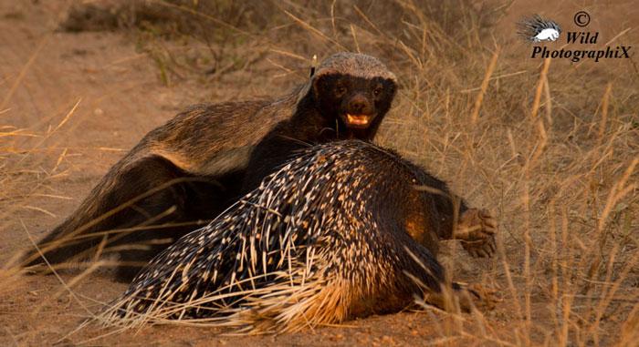 honey-badger-eats-porcupine