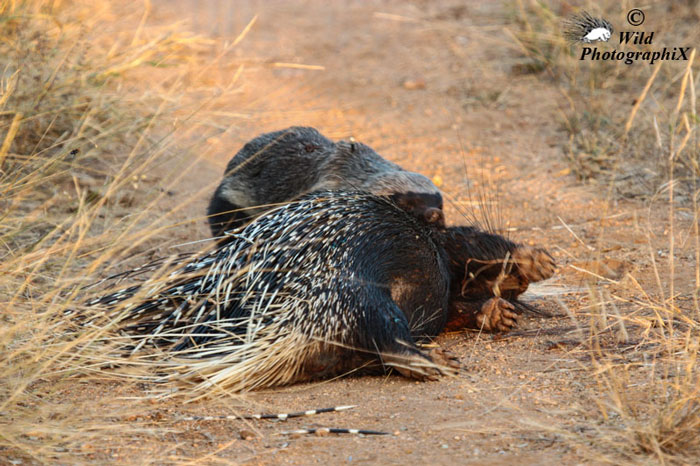 honey-badger-porcupine