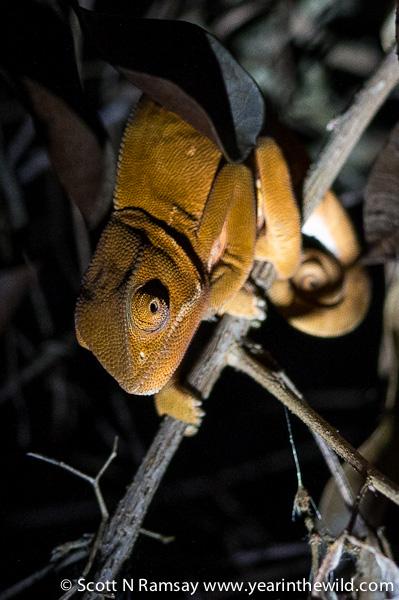 Another flapneck chameleon.