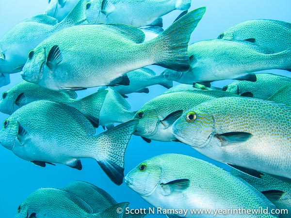 Up close and personal...a beautiful school of lemon fish.