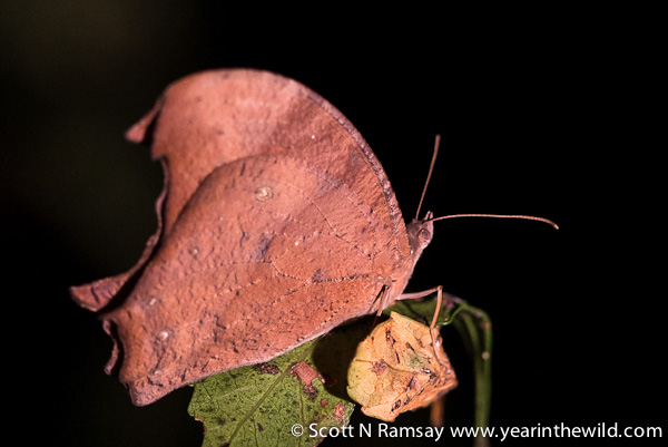 A Twilight Brown butterfly: note how it is camouflaged as a leaf.