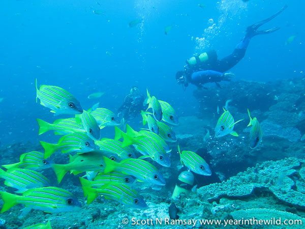A wilderness experience that has few equals...to me at least. A school of blue-banded snappers.