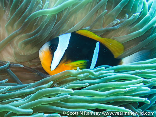 Sea anemone and two-bar anemone fish (also known as clown fish)