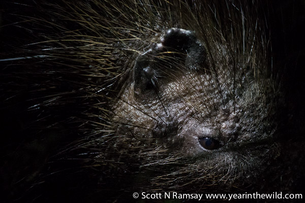 So, you think porcupines are cute? Well, think again. Kian spotted this one in the grass, and I was able to get a photo with my 500mm lens. This composition of a porcupine's face leaves me a little disturbed...anyone seen Lord of the Rings? Don't you think it looks a bit like an Orck!?