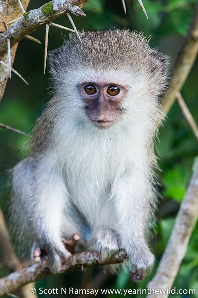 Cheeky thing...a vervet monkey youngster.