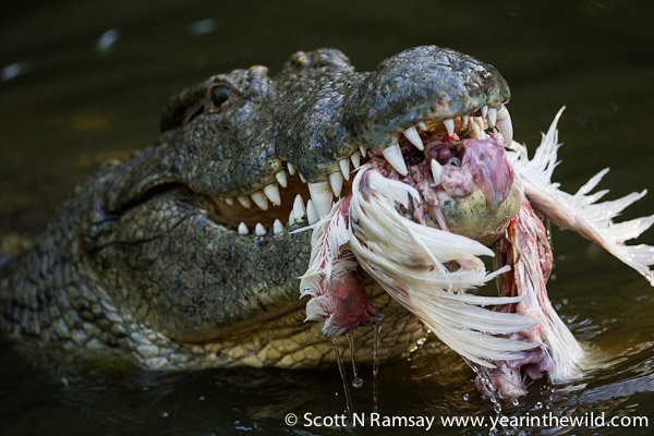 Hungry? A croc gets stuck into its afternoon tea...chickens are fed to the crocs at the centre.