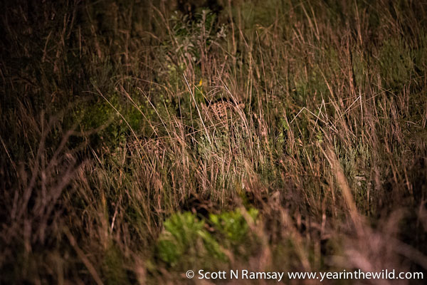Yip, you don't want to be walking through long grass at night in Africa.