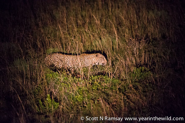 On the move...the leopard intentionally spooks the grey duiker.