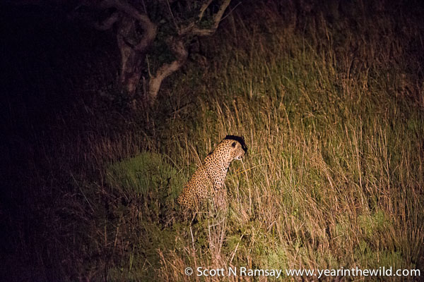 Then runs a loop back around and waits for the duiker to come to him!