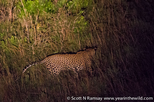 The duiker draws nearer, and the leopard gets ready to pounce