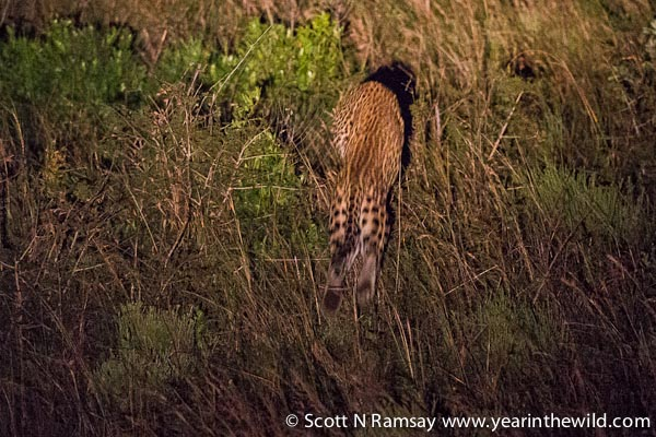 Then, the kill. The leopard pounced, and the duiker was caught and killed almost instaneously...not before squealing a few times.
