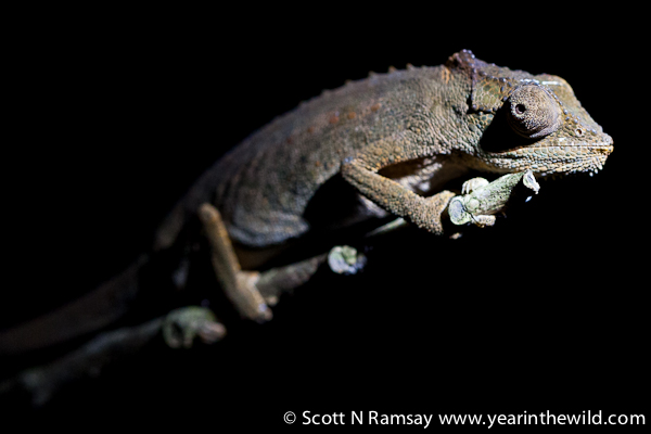 A setaro's dwarf chameleon, found only here in iSimangaliso and in southern Mozambique.