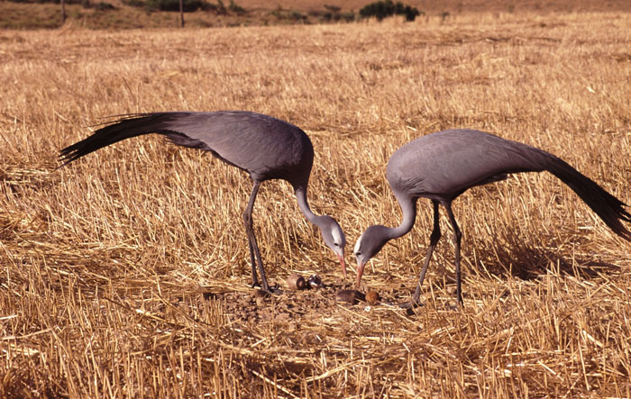 pair-of-blue-cranes-on-wheatfield-with-chick