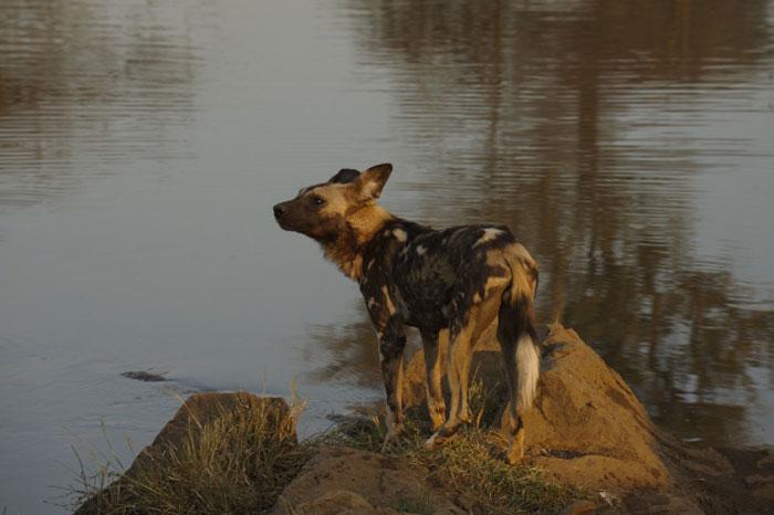 wild_dog-waterhole-madikwe