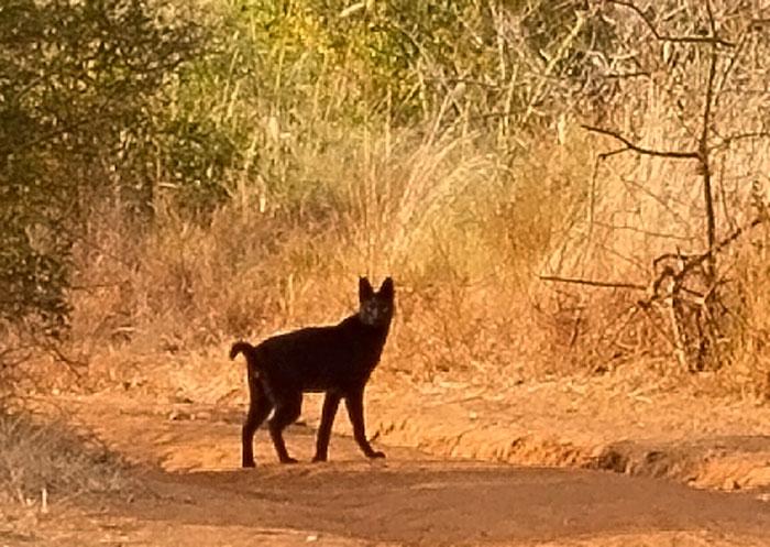 Black-Beauty-serval