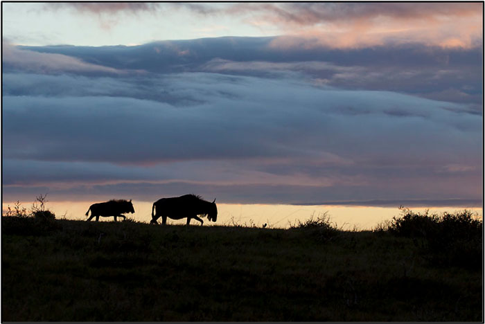 Blue Wildebeest and calf retiring for the night. ©Kevin McDonald