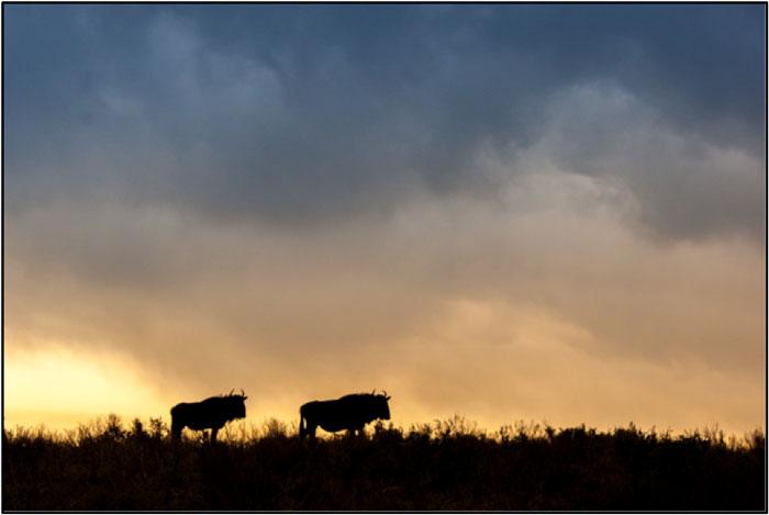Blue Wildebeest Sunset. ©Brendon Jennings