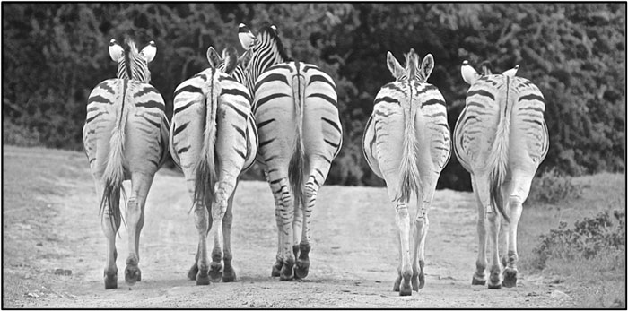 Burchell's Zebra farewell. ©Milanie Van Huysteen