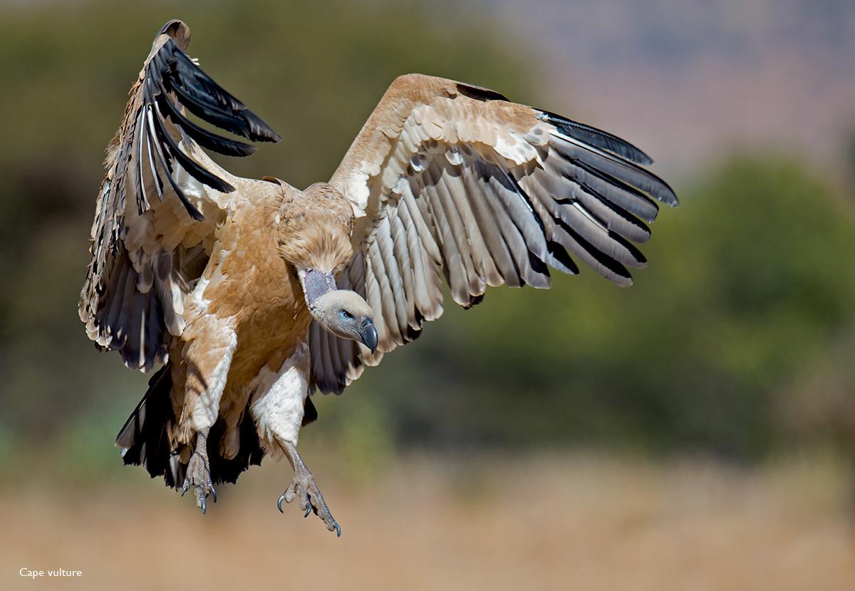 Cape-Vulture-VRC-2