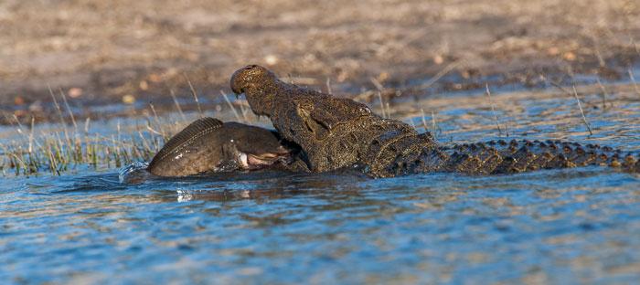 Crocodile-&-Cat-Fish-#2-(1-of-1)
